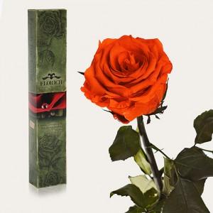 Долгосвежая роза Огненный Янтарь в подарочной упаковке (5 карат короткий стебель)