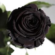 Долгосвежая роза Черный Бриллиант (5 карат на коротком стебле)