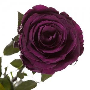 Долгосвежая роза Фиолетовый Аметист (5 карат на коротком стебле)