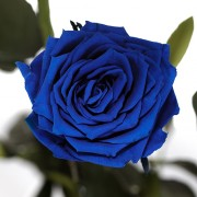 Долгосвежая роза Синий Сапфир (7 карат на коротком стебле)