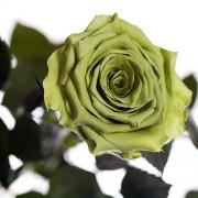 Долгосвежая роза Лаймовый Нефрит (7 карат на коротком стебле)