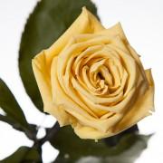 Долгосвежая роза Желтый Топаз (7 карат на коротком стебле)