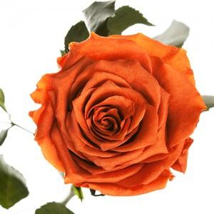Долгосвежая роза Огненный Янтарь (5 карат на коротком стебле)